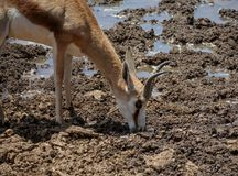 Springbok Drinking. A Springbok antelope drinking at a watering hole in Southern African savanna Stock Images