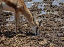 Springbok Drinking Stock Images