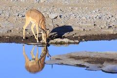 Springbok drinking in Etosha parc Stock Photo