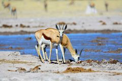 Springbok drinking water Stock Photos