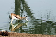 Springbok Drinking Royalty Free Stock Images