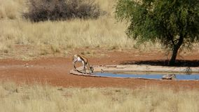 Springbok drinking at a waterhole in Namibia stock photos