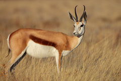 Springbok in early morning light Stock Photos