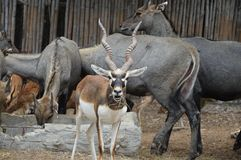 Springbok Royalty Free Stock Photo