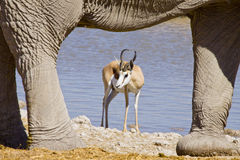Springbok and elephant Royalty Free Stock Images