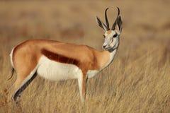 Springbok en lumière de début de la matinée Photos stock