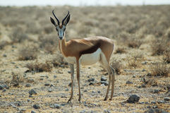 Springbok in Etosha Royalty Free Stock Photo