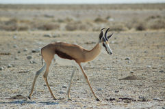 Springbok in Etosha Royalty-vrije Stock Foto's