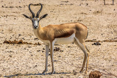 Springbok in Etosha Namibia Stock Photo