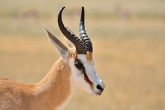Springbok in the Etosha National Park 1 Royalty Free Stock Photography