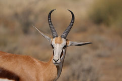 Springbok in the Etosha National Park. A Springbok in the Etosha National Park Royalty Free Stock Photos