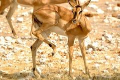 Springbok in Etosha Stock Image