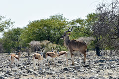 Springbok in Etosha National Park. Springbok and kudu in the wild, in Etosha National Park, Namibia Stock Photos
