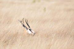 Springbok in the Etosha National Park Royalty Free Stock Images