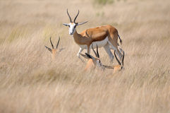 Springbok in the Etosha National Park Royalty Free Stock Image