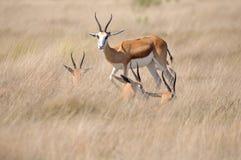 Springbok in the Etosha National Park Royalty Free Stock Image