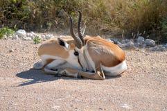 Springbok in the Etosha National Park Royalty Free Stock Photos