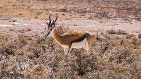 Springbok. In Etosha National Park, Namibia Stock Image