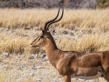 Springbok. In Etosha National Park, Namibia Royalty Free Stock Image