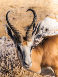 Springbok. In the Etosha National Park, Namibia Royalty Free Stock Photo