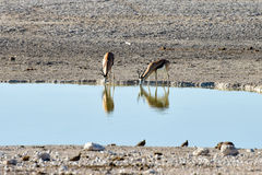 Springbok in Etosha National Park. Springbok in the plains of Etosha National Park, Namibia Royalty Free Stock Photography