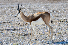 Springbok in Etosha National Park. Springbok in the plains of Etosha National Park, Namibia Royalty Free Stock Images