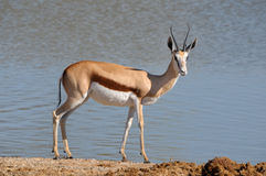 Springbok in the Etosha National Park 3 Stock Photos