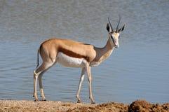 Springbok in the Etosha National Park 3 Stock Photos