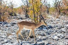 Springbok in Etosha National Park. Springbok in the wild, in Etosha National Park, Namibia Royalty Free Stock Photo