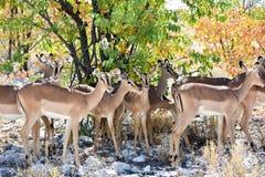 Springbok in Etosha National Park. Springbok in the wild, in Etosha National Park, Namibia Royalty Free Stock Images