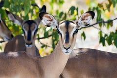 Springbok in Etosha National Park. Springbok in the wild, in Etosha National Park, Namibia Stock Photos