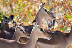 Springbok in Etosha National Park Stock Images