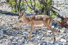 Springbok in Etosha National Park. Springbok in the wild, in Etosha National Park, Namibia Stock Photo