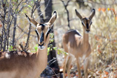 Springbok in Etosha National Park Royalty Free Stock Photos