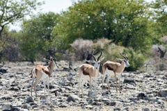 Springbok in Etosha National Park. Springbok in the wild, in Etosha National Park, Namibia Royalty Free Stock Photography