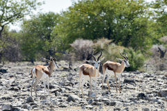 Springbok in Etosha National Park Royalty Free Stock Photography