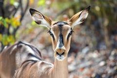 Springbok in Etosha National Park. Springbok in the wild, in Etosha National Park, Namibia Stock Image