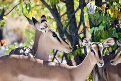Springbok in Etosha National Park Stock Photos
