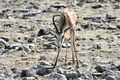 Springbok in Etosha National Park. Springbok in the wild, in Etosha National Park, Namibia Royalty Free Stock Image
