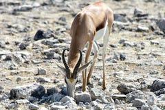 Springbok in Etosha National Park. Springbok in the wild, in Etosha National Park, Namibia Royalty Free Stock Photos
