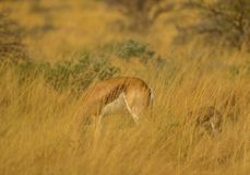 Springbok ewe and calf hidden in tall grass. A springbok ewe and her calf are well hidden in the tall grass on the African plain image with copy space in stock photos