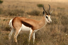 Springbok feeding on grass Stock Photos