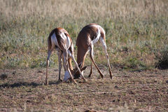 Springbok fight. Young male springbok fighting for teritorial rights Royalty Free Stock Photo