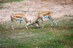 Springbok Royalty Free Stock Photography
