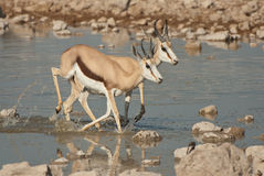 Springbok fleeing from water hole. Widespread in lower rainfall regions of South Africa and namibia; both sexes horned; dark-brown band separating upper brownish Stock Images