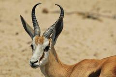 Springbok - fond de faune d'Afrique - klaxons élégants de nature Images stock