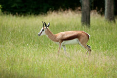 Springbok in the forest Stock Photo