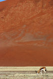 Springbok in front of red desert dunes of Namibia Stock Photos