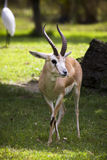 Springbok Gazelle Stock Photo