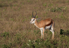 Springbok gazelle on an African plain. Iconic springbok in the Madikwe Game Reserve, South Africa stock image